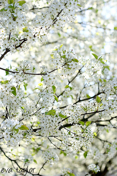 Blossoms1